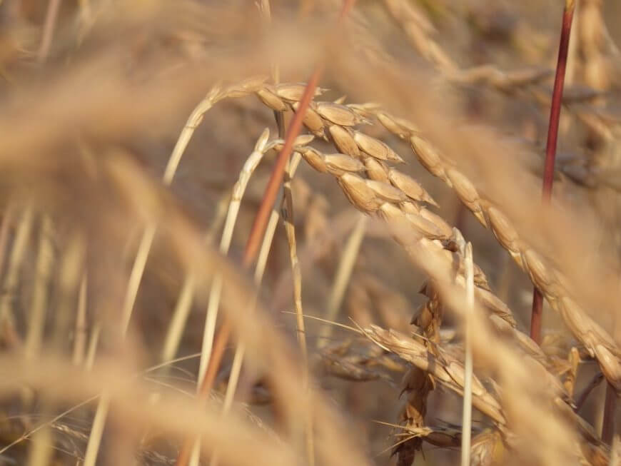 Espelta, el cereal de la felicidad - Superalimentos