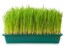 ¿Qué es la Hierba de Trigo?